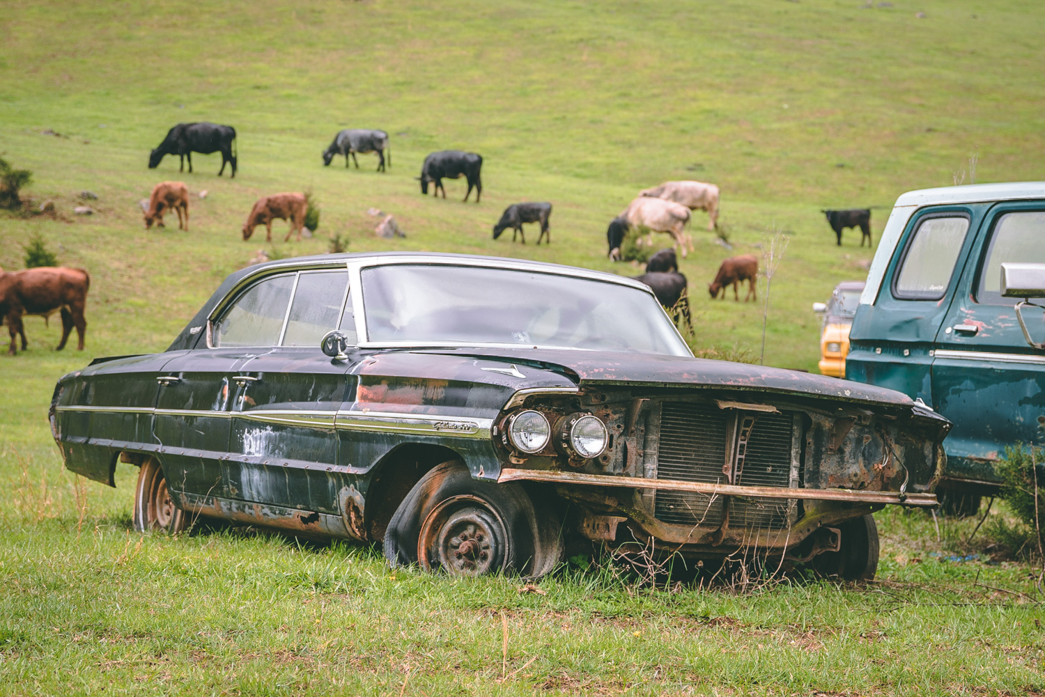 Barn Find Hunter galaxie cows
